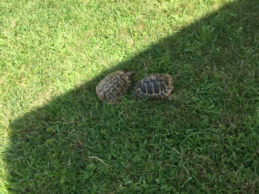 Skildpadder ved Villa markoc